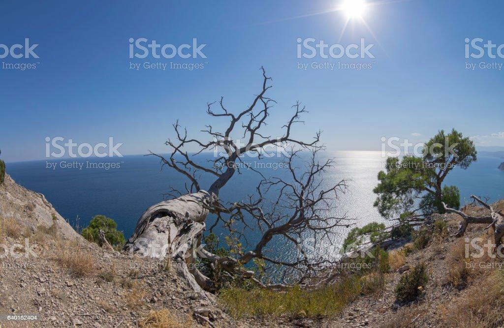 Relict pine trees above the sea. Crimea. stock photo