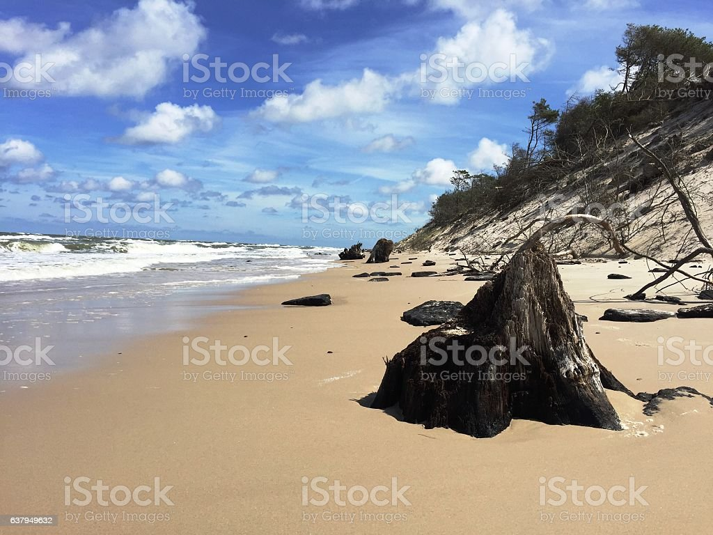 Remains of ancient forest at the Baltic Seaside. stock photo