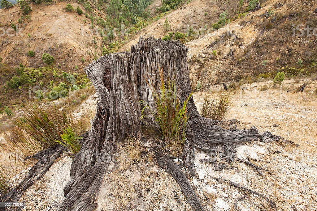 Remains of logged tree Queenstown stock photo