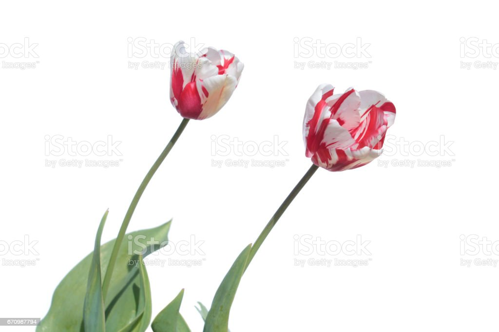 Rembrandt tulip. Red and white tulip isolated on white background stock photo