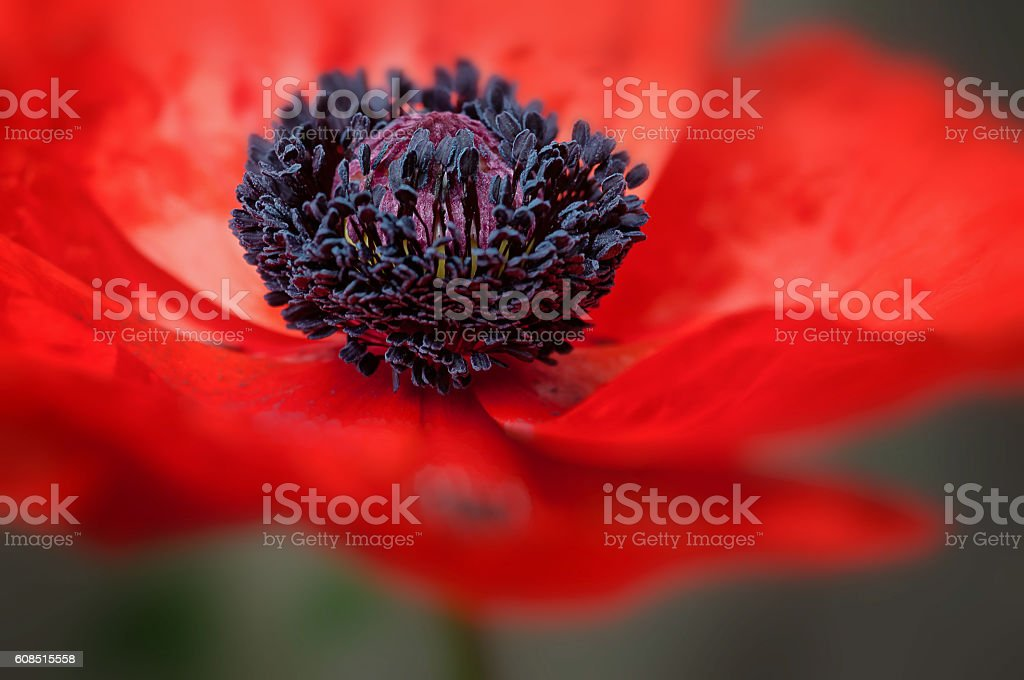 Remembrance day symbol red poppy flower bloom macro shot stock photo
