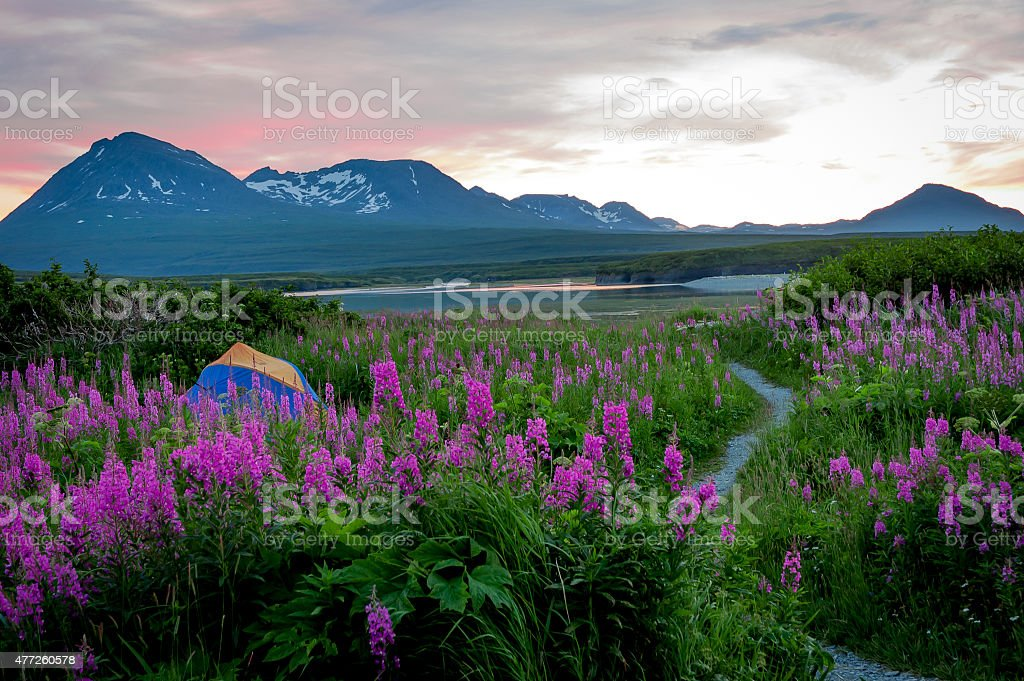 Remote Campsite with Purple Flowers at Sunset stock photo