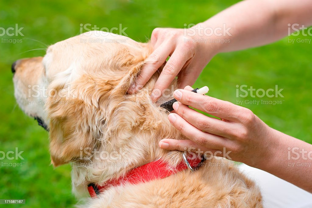 Removal of a dog tick stock photo