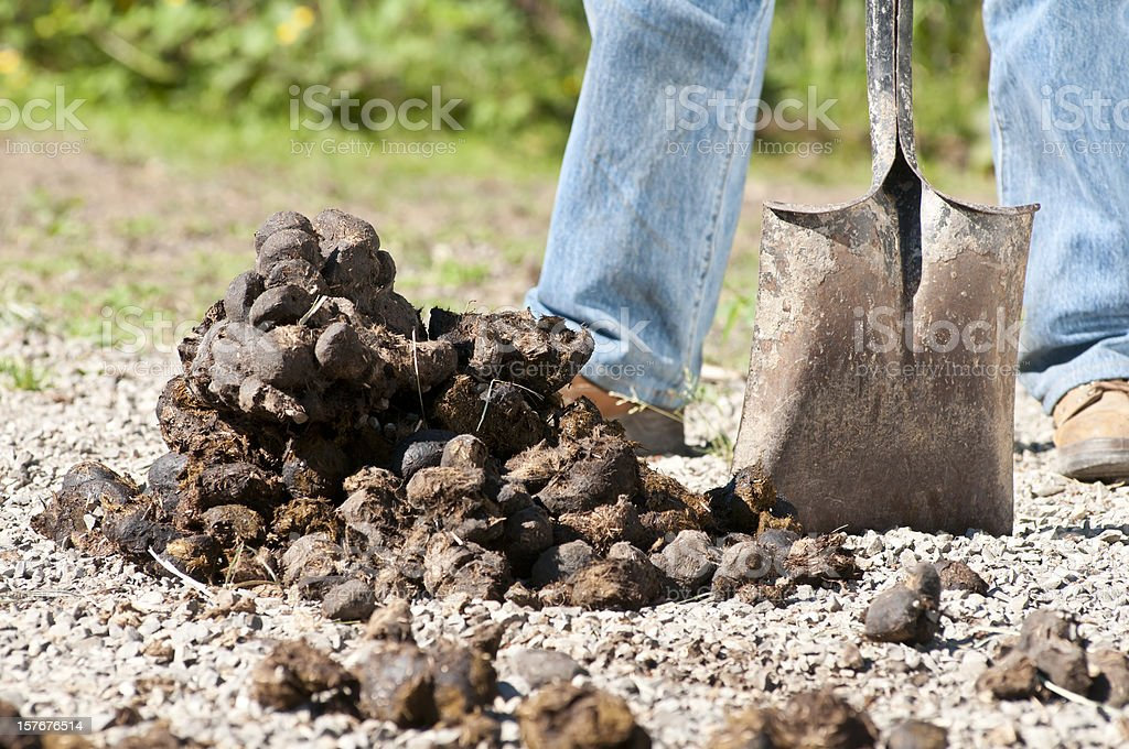 Removing Horse Dung stock photo