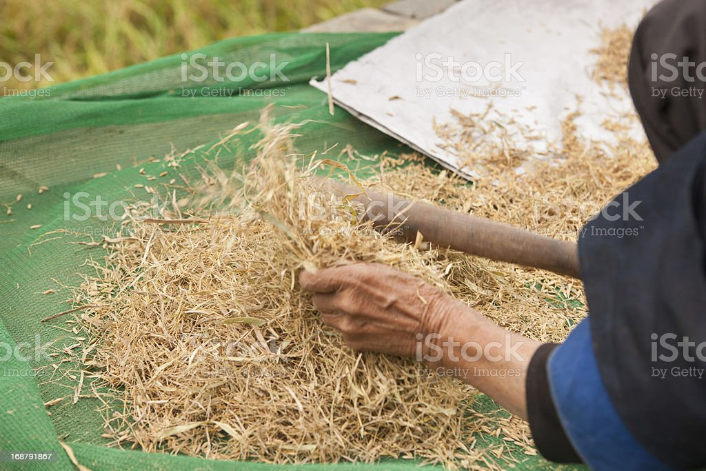 removing the husk of rice stock photo