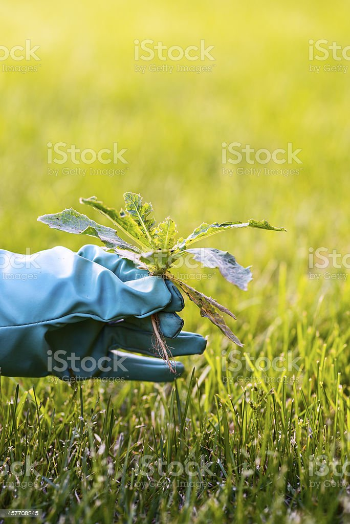 Removing weed stock photo