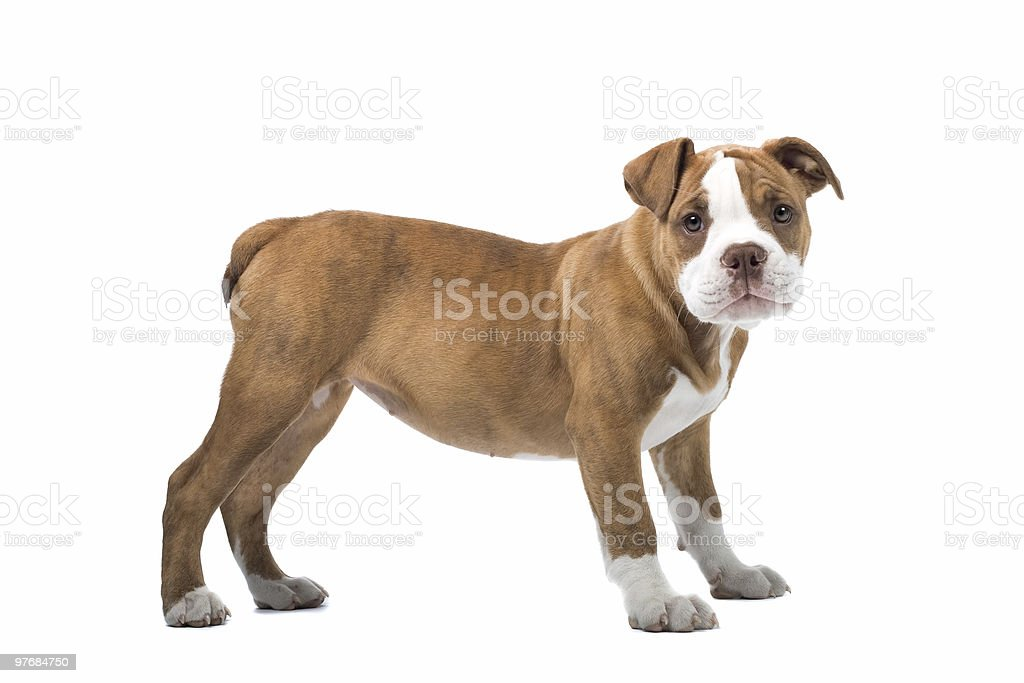 Renaissance Bulldog dog stock photo