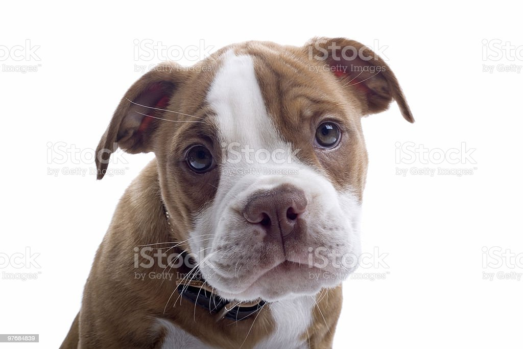 Renaissance Bulldog puppy stock photo