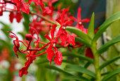 Renanthera brookie chandler orchids