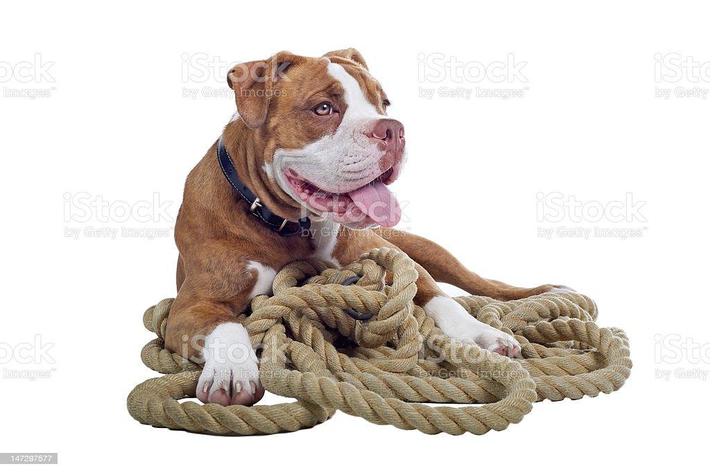 Renascence Bulldog stock photo