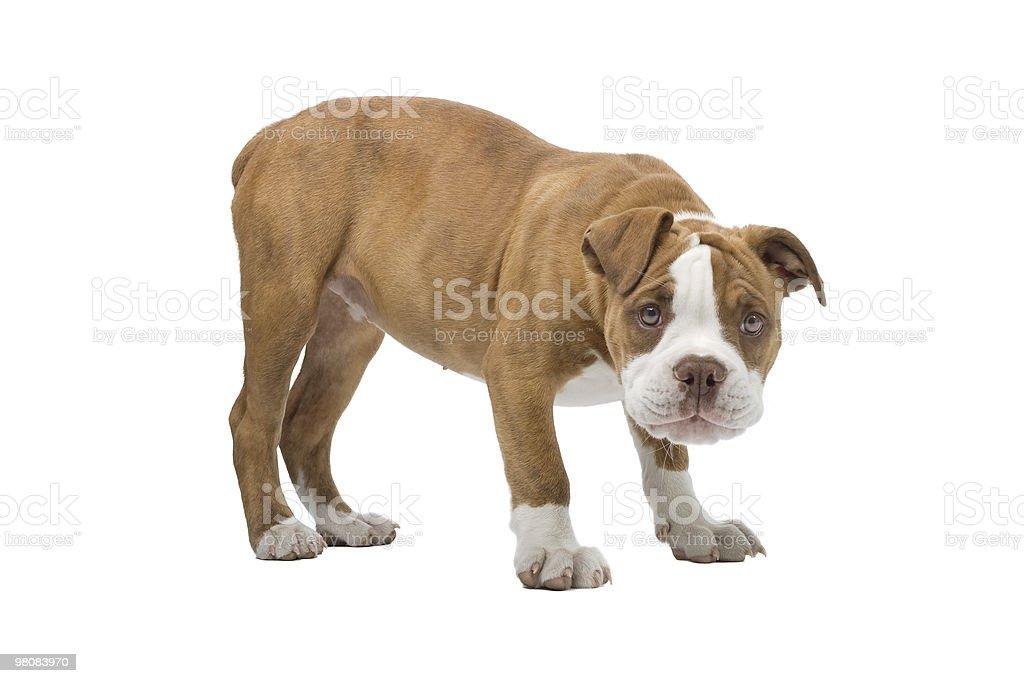 Renascence Bulldog puppy stock photo
