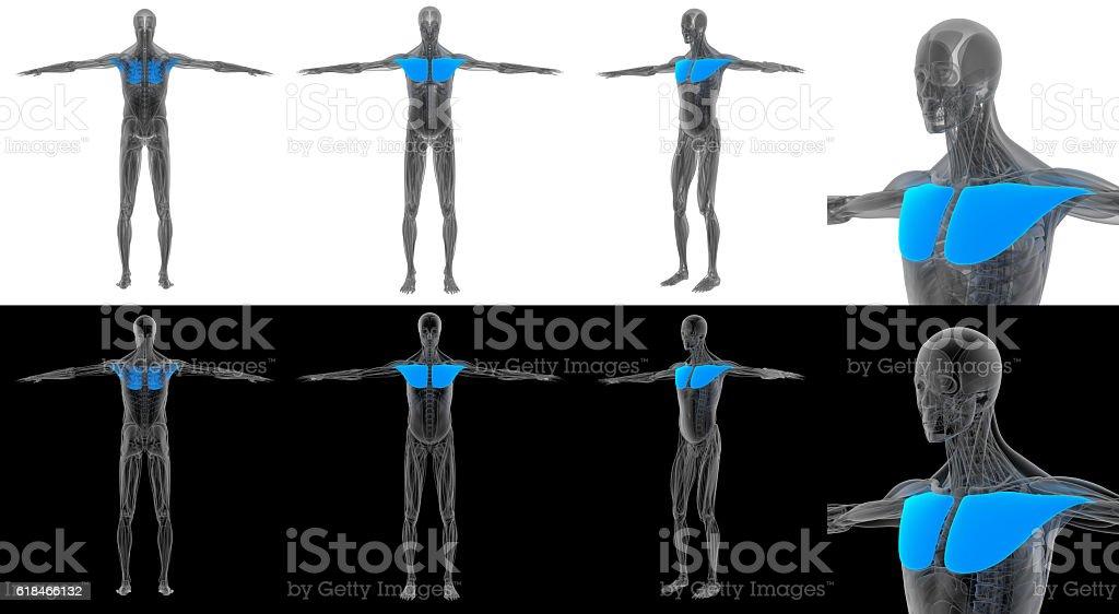3D render illustration of the pectoralis major stock photo