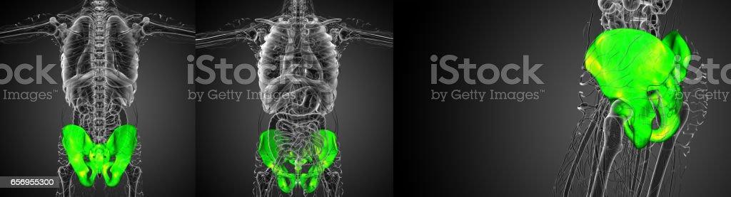 3D rendering illustration of the pelvis bone stock photo