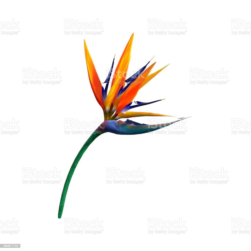 3D Rendering Strelitzia or Bird of Paradise Flower on White stock photo