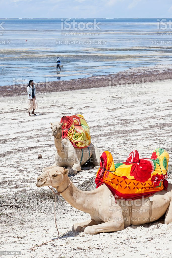 Rental Camels at beach stock photo