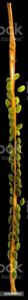 Replum and seeds of thale cress stock photo