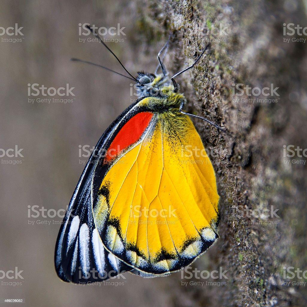 representative species of butterflies in Nepal stock photo