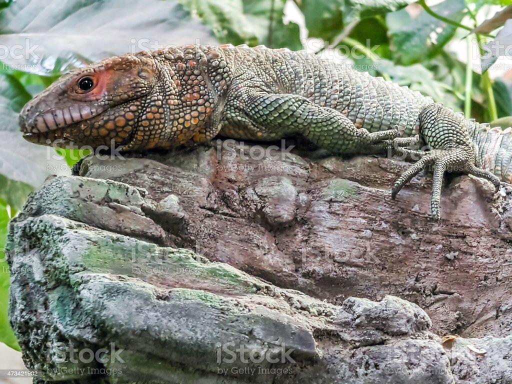 Reptil stock photo