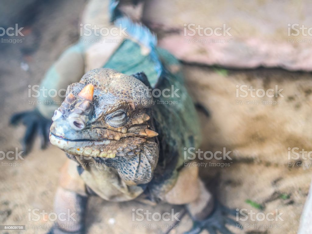 A reptile, chameleon or lizard raising it face up while closing its eyes like smelling something. The skin shows it texture of spot around itself with the spiky horn in the fornt and side of it face stock photo
