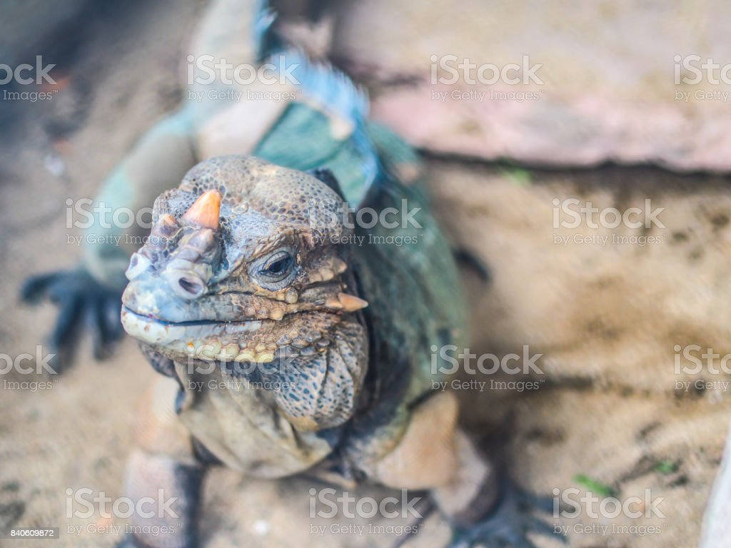 A reptile, chameleon or lizard raising it face up with open the eye looking forward to people readily to fight. The smart looking of the reptile shows it little horn with textile of spots on it face stock photo