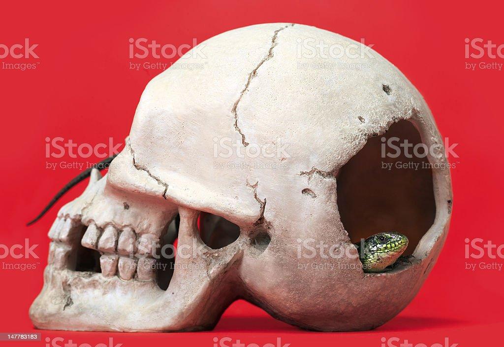 Reptile crawled through the skull. stock photo