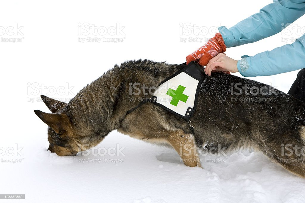 rescue dog in winter stock photo