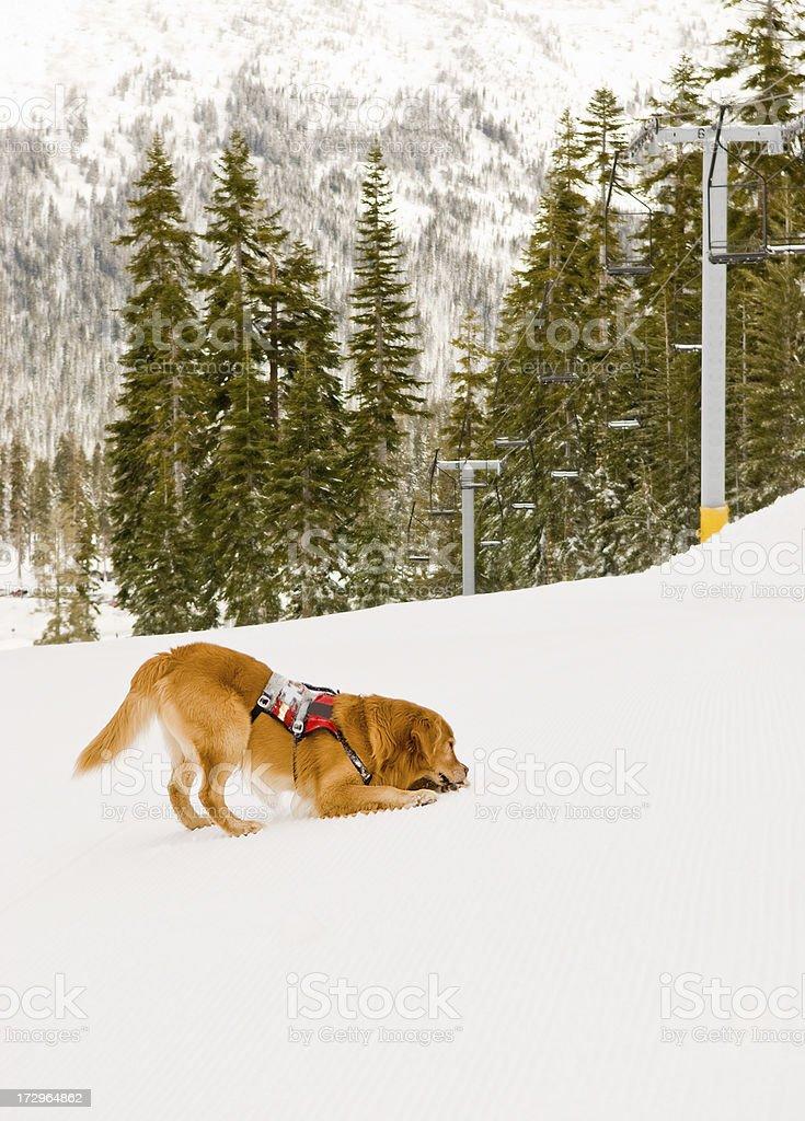 Such- und Rettungshund Lizenzfreies stock-foto