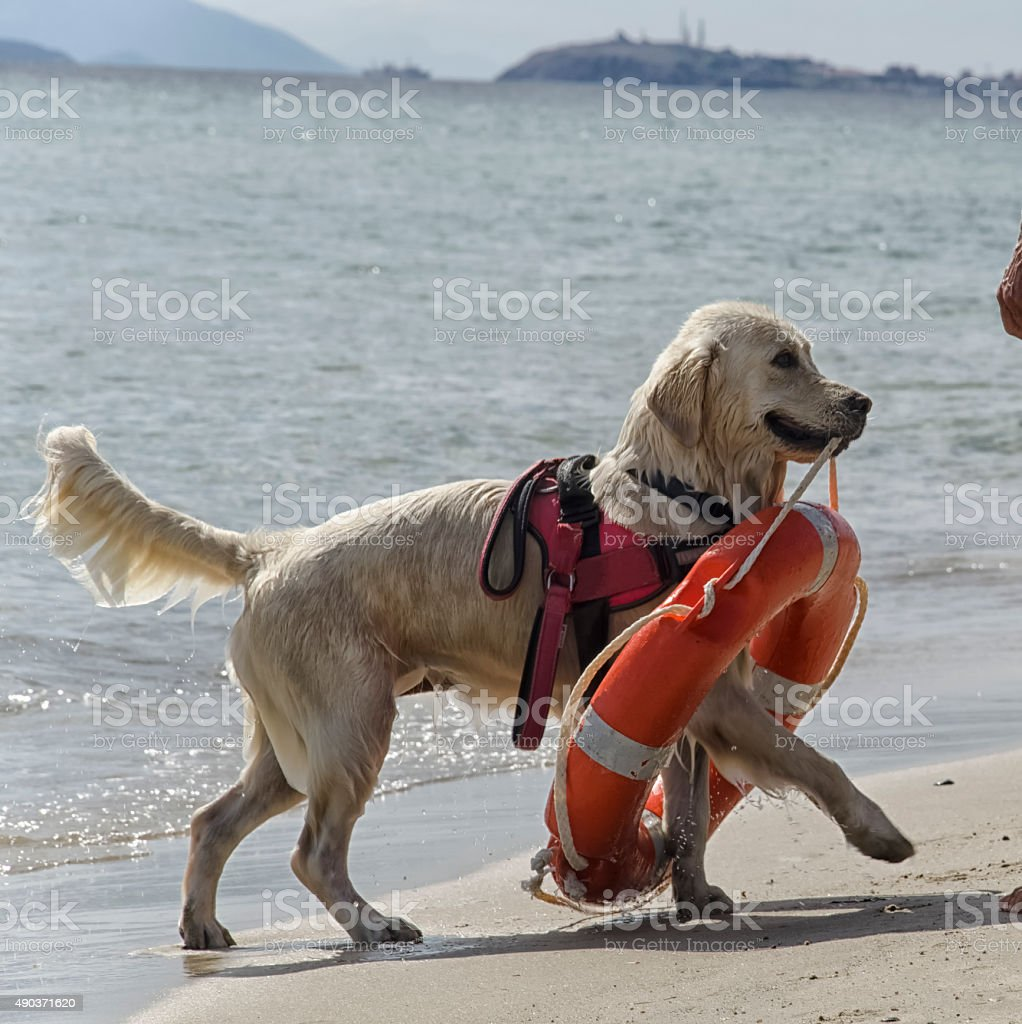 Rescue dog with lifebuoy stock photo