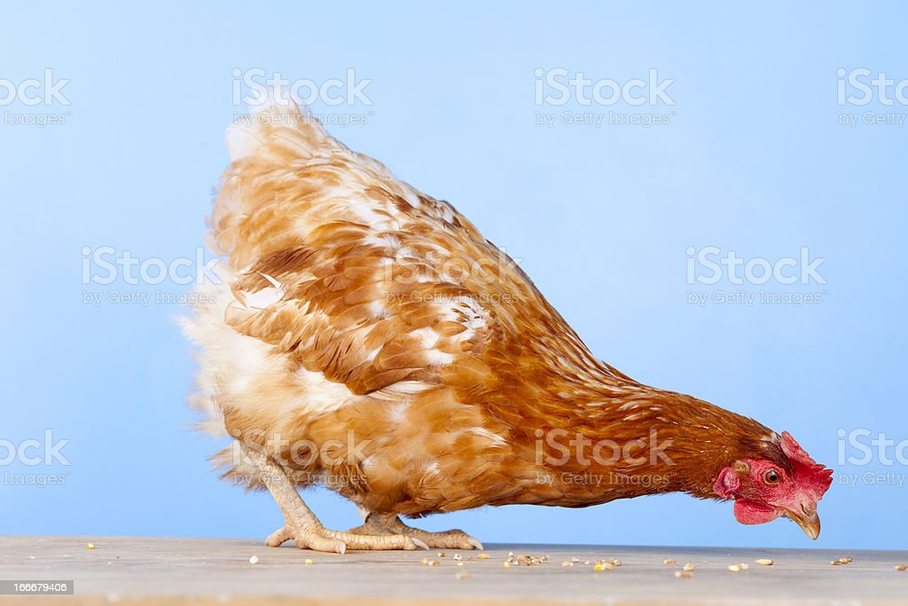 Rescued Battery Hen After Two Months royalty-free stock photo