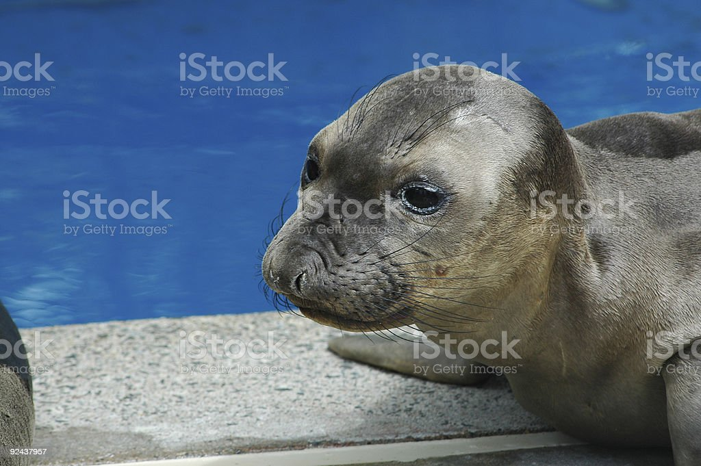 rescued elephant seal pup royalty-free stock photo