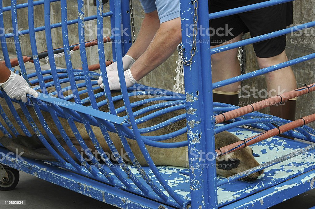 rescued sea lion getting medical attention stock photo