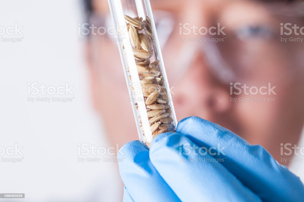 research with  rice seeds in test tube stock photo