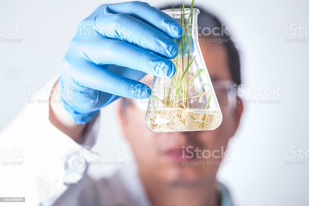 research with seedling rice seeds in flask stock photo