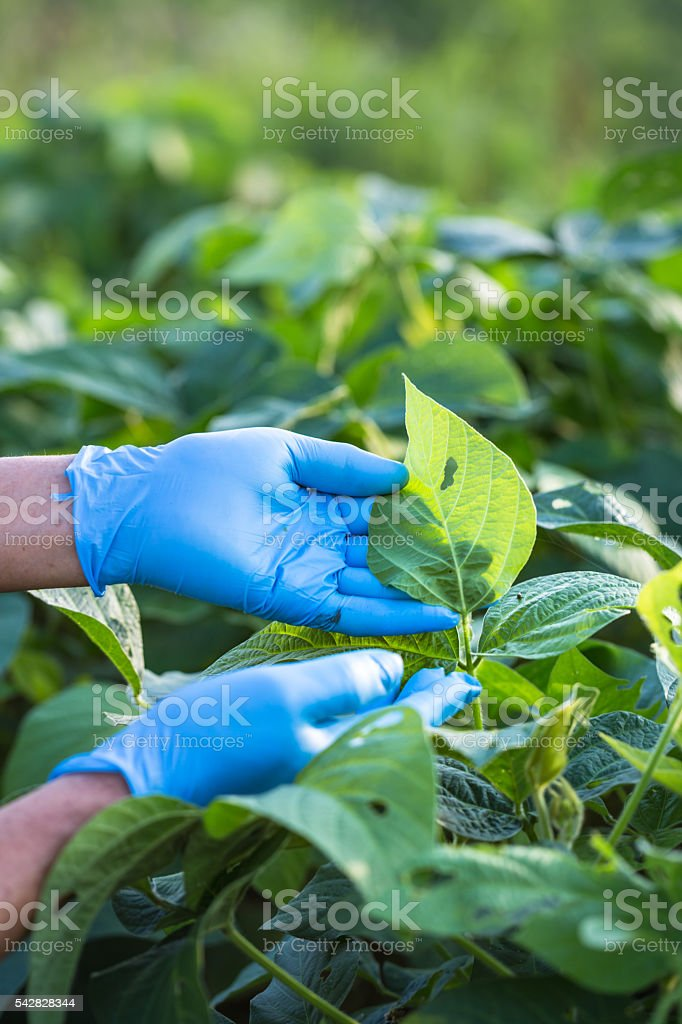 Researcher checking soybean field stock photo