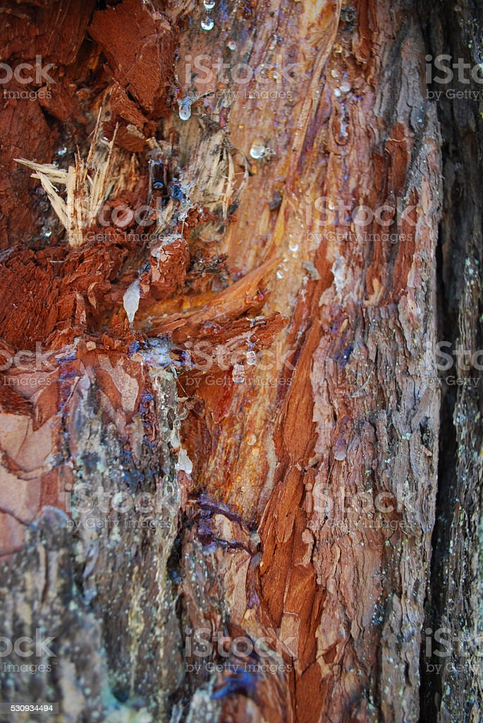 Resin flowing from the damaged wood. stock photo