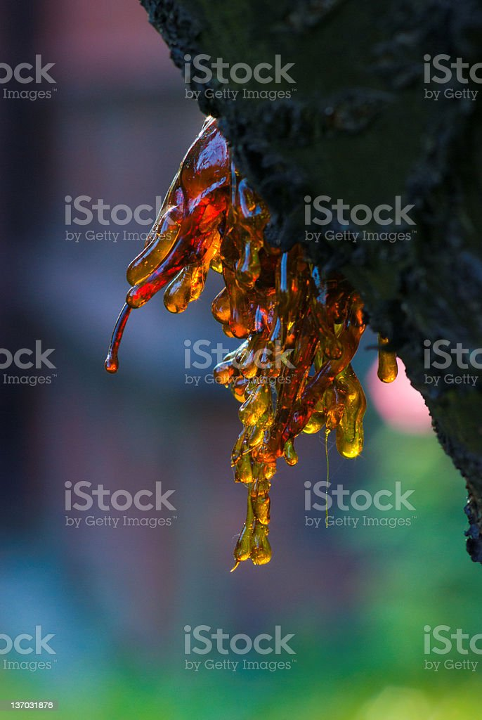 Resin from a stump royalty-free stock photo