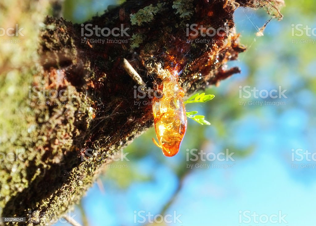 Resin oozes from cut on wounded tree, gum, oozing, droplet, stock photo