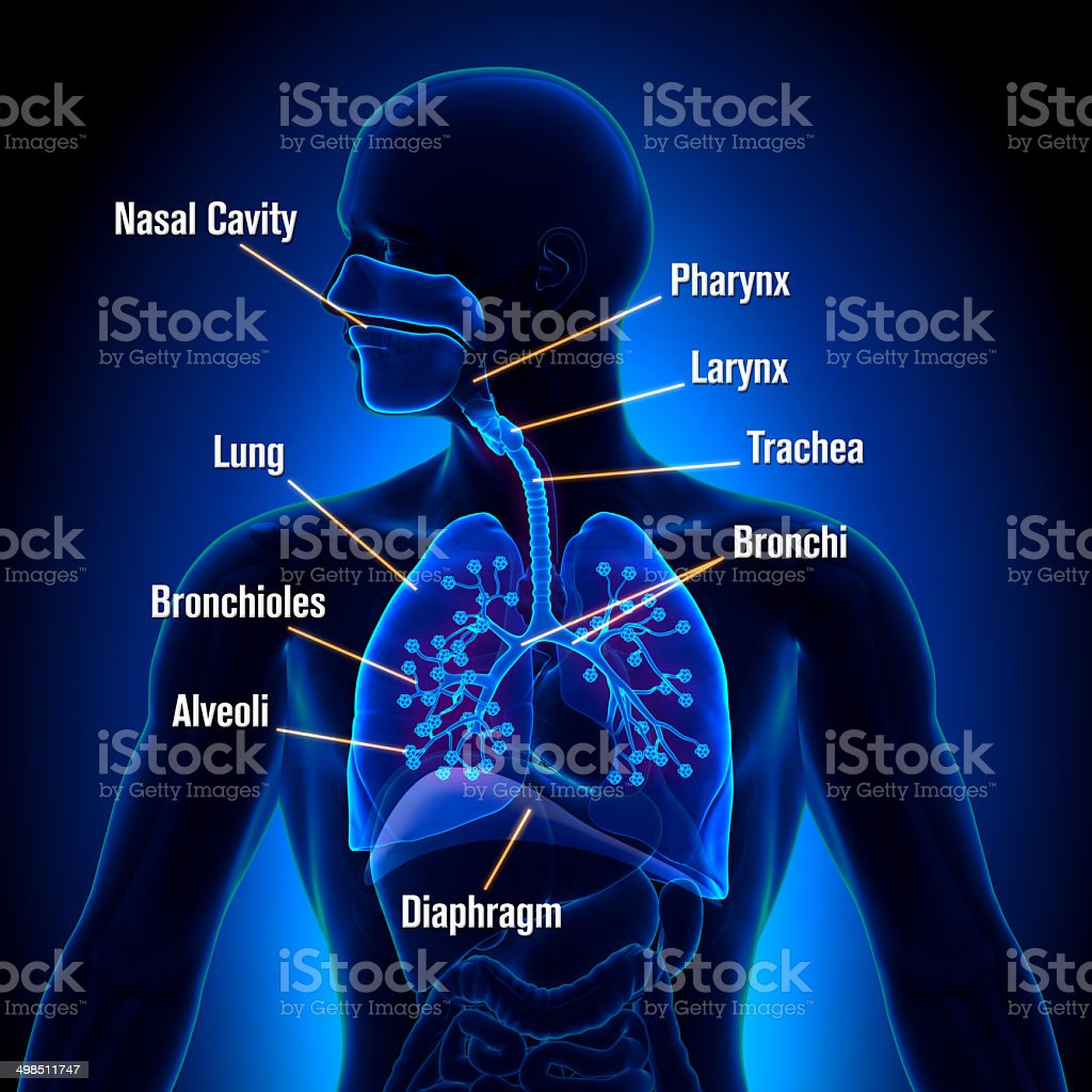 respiratory system pictures, images and stock photos - istock, Human Body