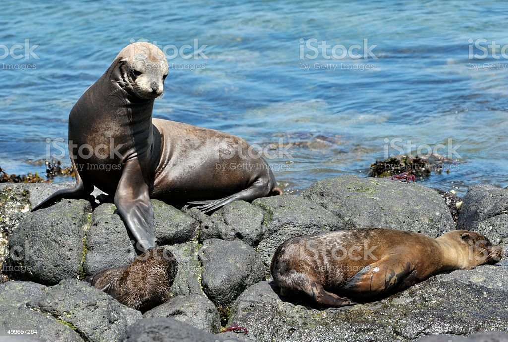 Rest of the Sea Lions stock photo