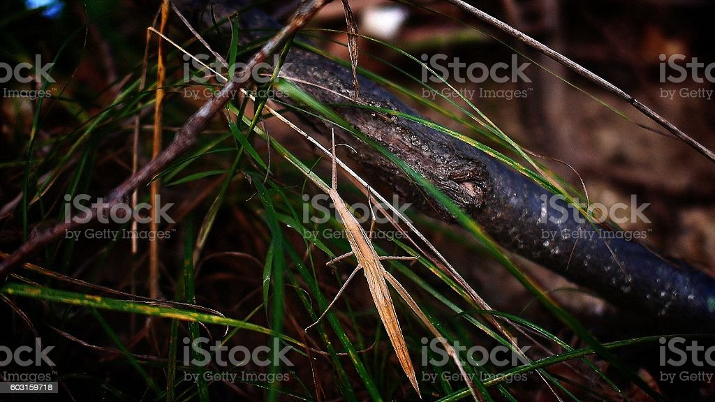 resting Acrida cinerea stock photo
