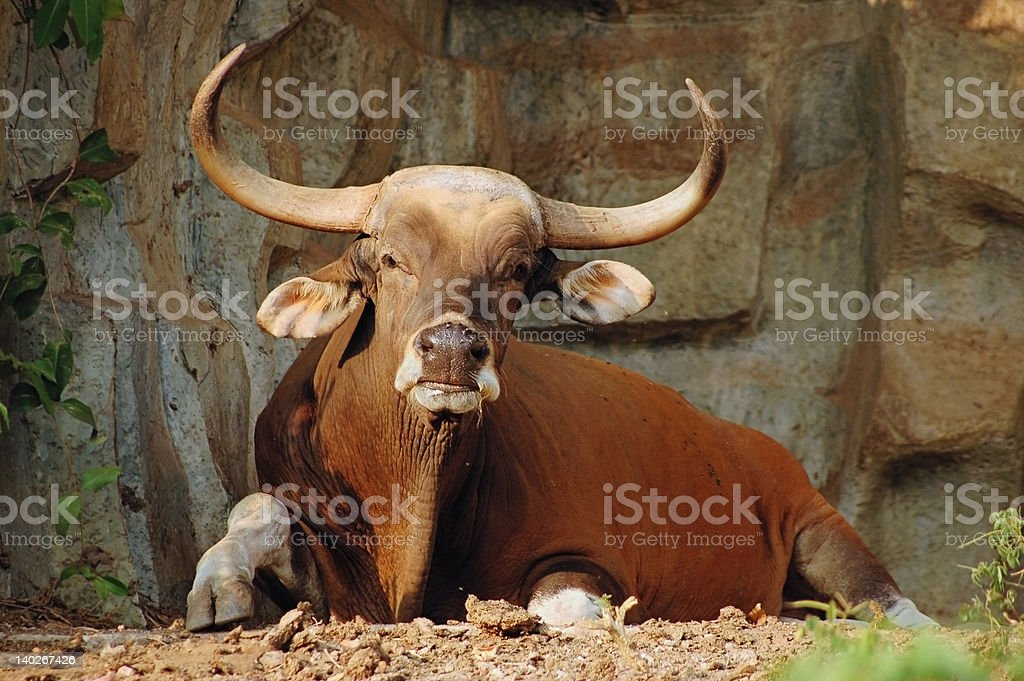Resting banteng royalty-free stock photo