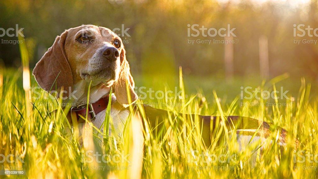 Resting beagle stock photo