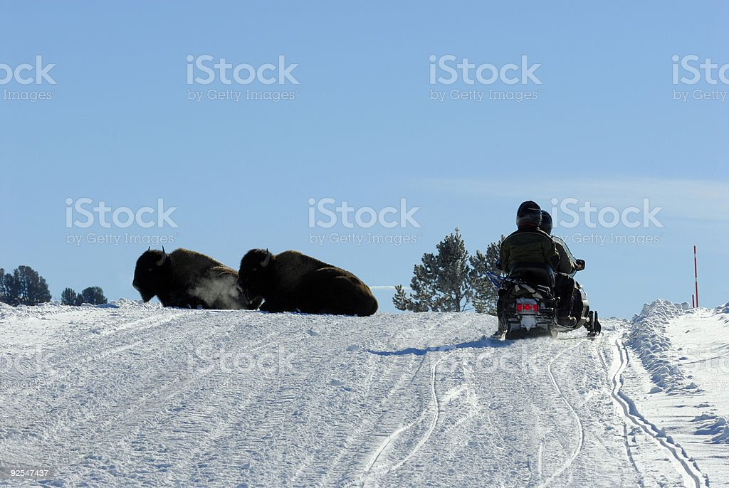Resting Bison royalty-free stock photo