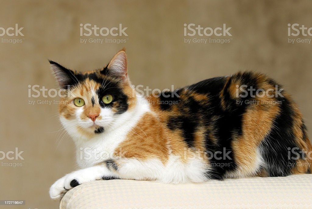 Resting Calico Cat royalty-free stock photo