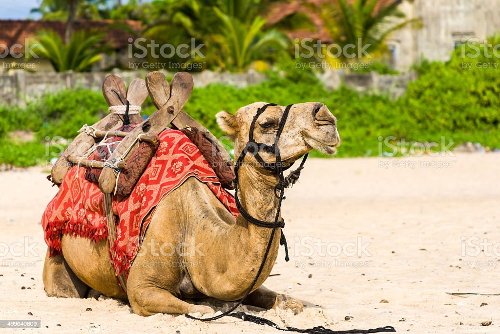 Resting camel. royalty-free stock photo