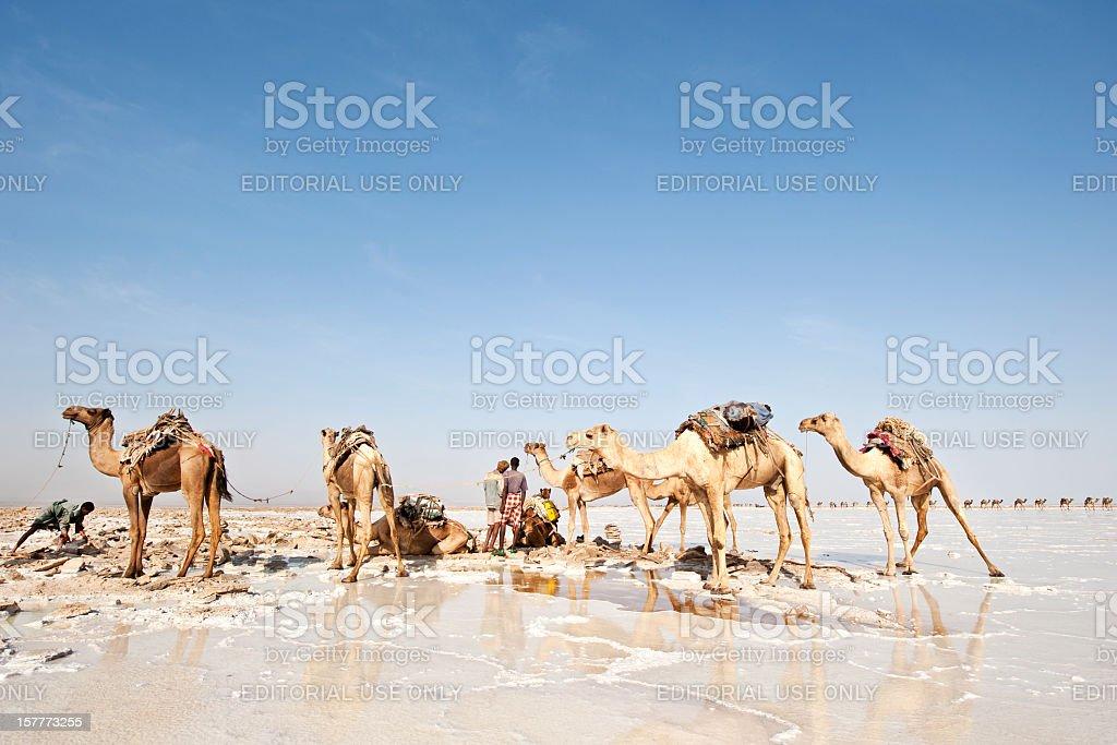 Resting camels of a salt caravan, Danakil Desert, Ethiopia stock photo