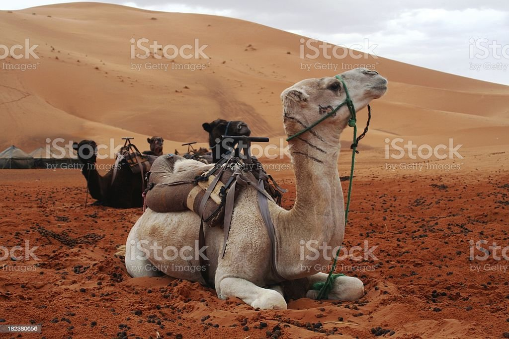 Resting camels royalty-free stock photo