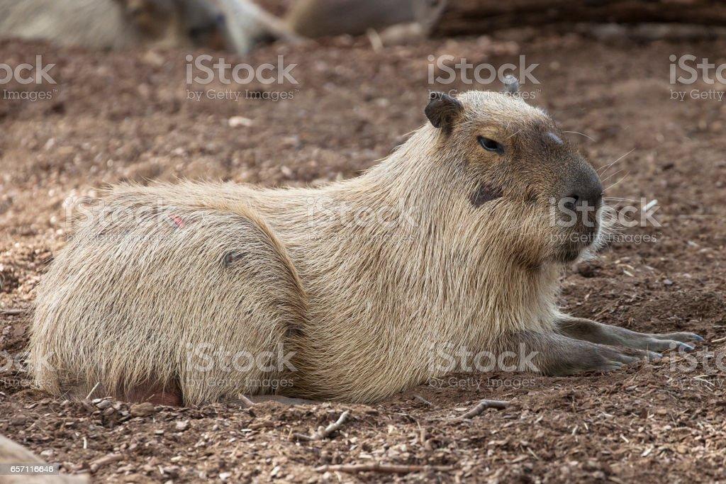 Resting Capybara stock photo