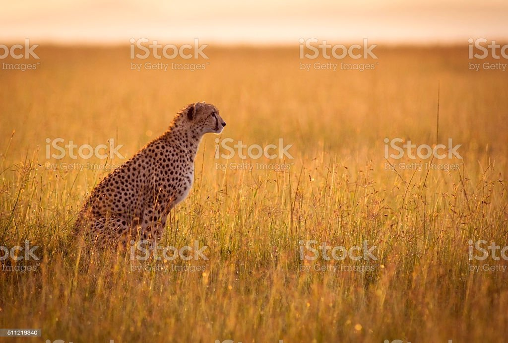 Resting cheetah stock photo
