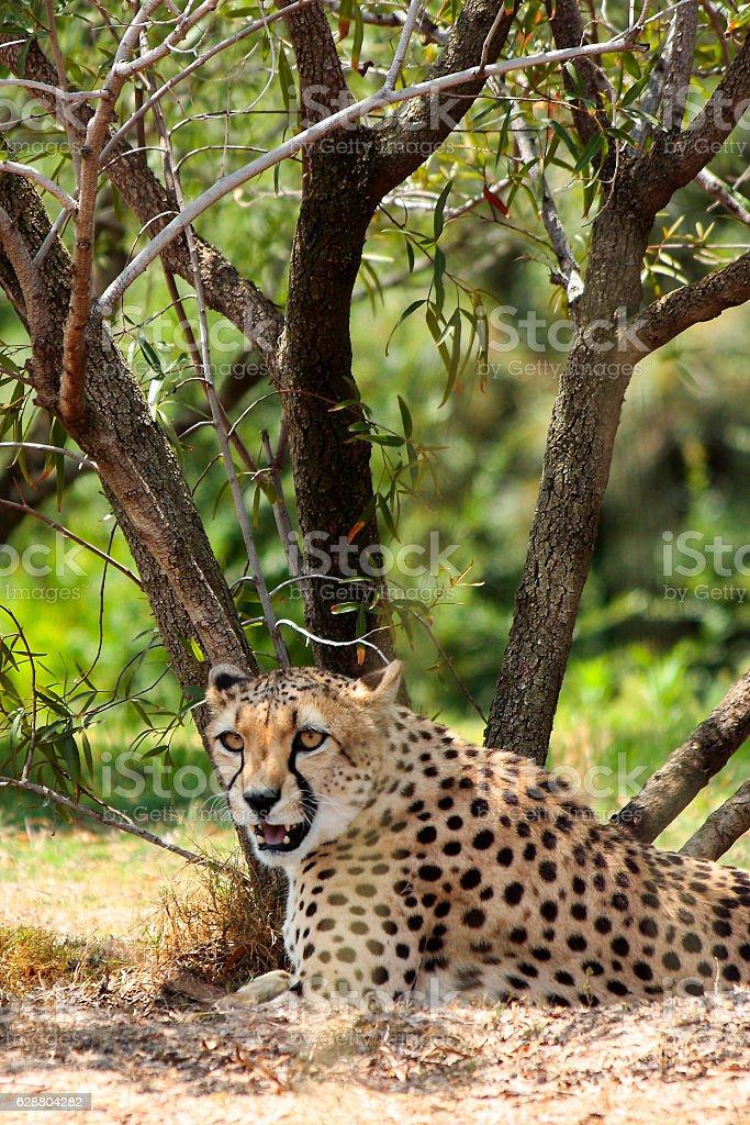 Resting Cheetah stock photo